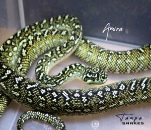 Amira Tampa Snakes