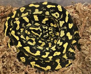 Euphoria Jungle Carpet Python