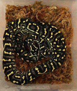 Jungle Carpet Pythons for Sale
