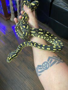 Sarasota Jungle Carpet Pythons for Sale