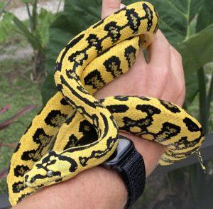 Jungle Jag Carpet Pythons