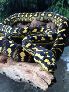 """Pilot"" Jungle Carpet Python"