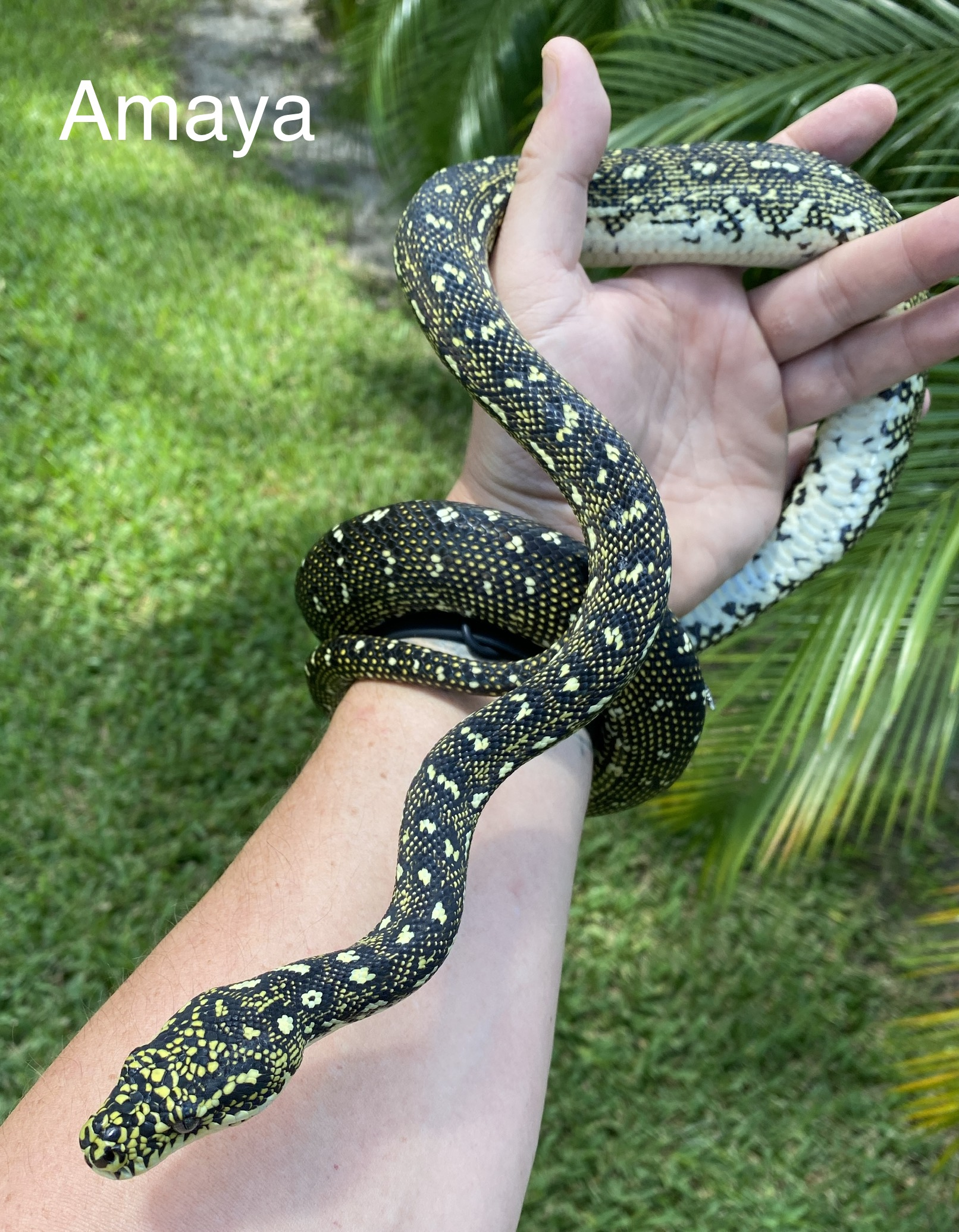 Amaya Diamond Python