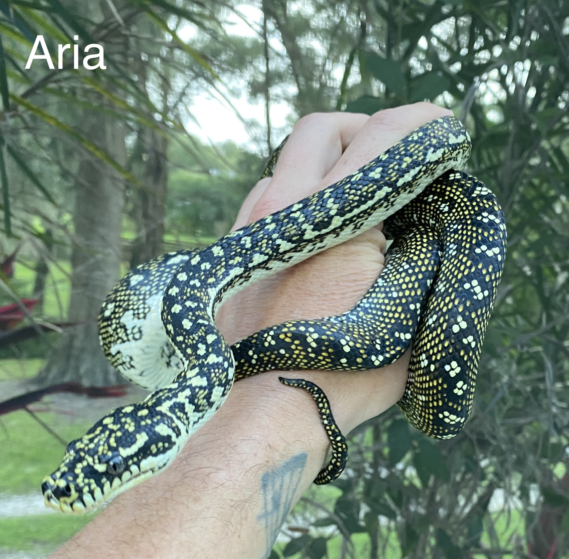 Aria Diamond Python