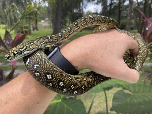 Diamond Python produced by TB Snakes