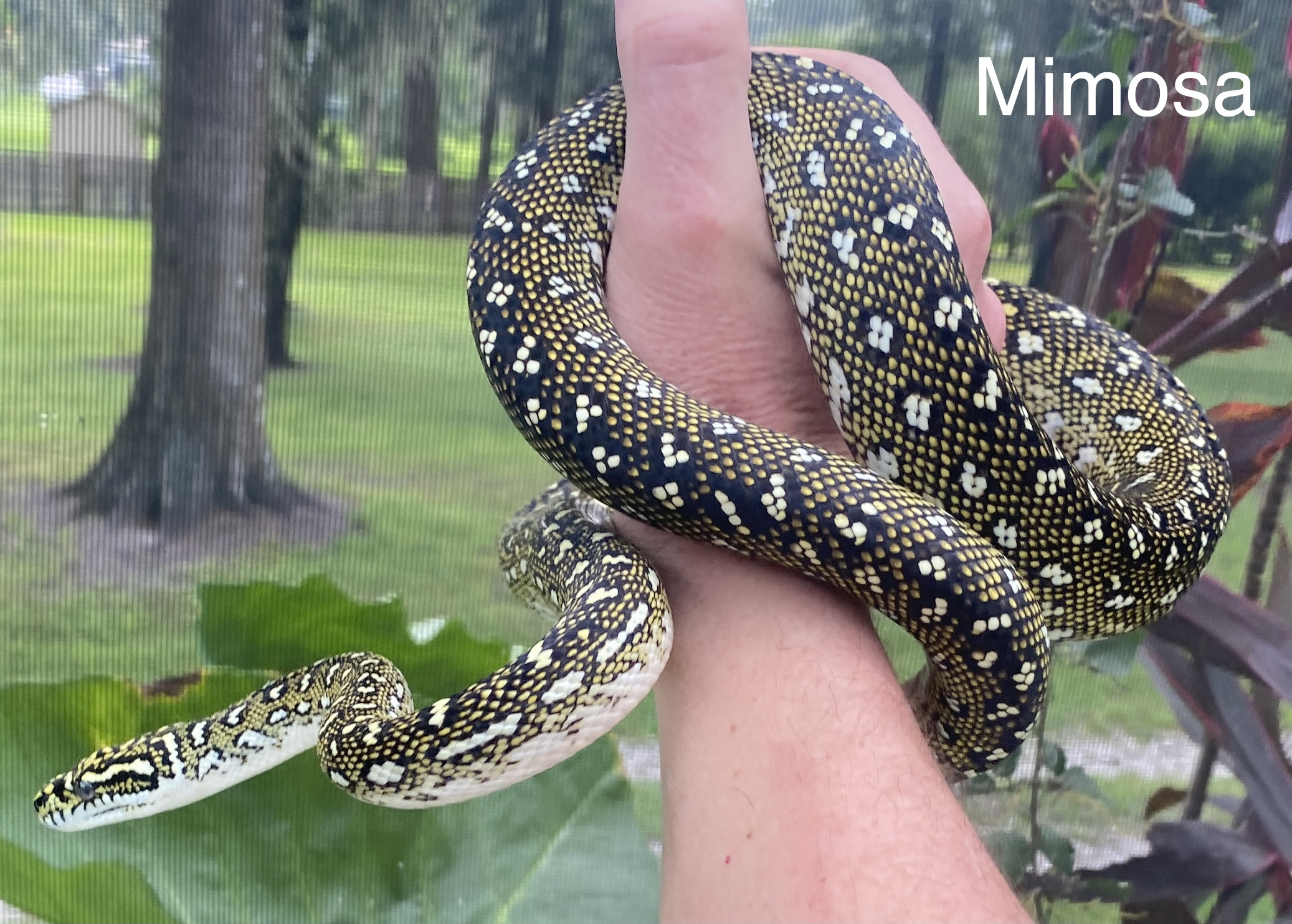 Mimosa Diamond Python