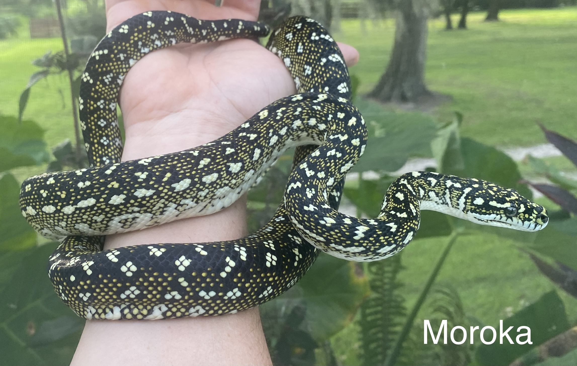 Moroka Diamond Python