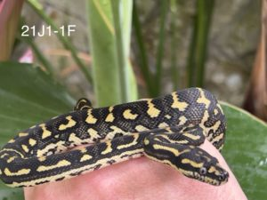 Jungle Carpet Python for Sale 21J1-1F