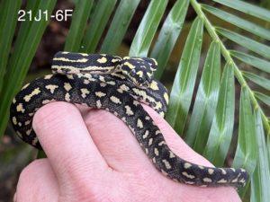 Jungle Carpet Python for Sale 21J1-6F