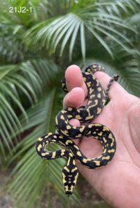 21J21 - Jungle Carpet Python for Sale