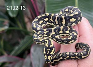 Jungle Carpet Python 21J2-13