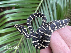 Jungle Carpet Python For Sale 21J3-5M