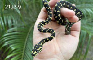 Jungle Carpet Python for Sale 21J3-9